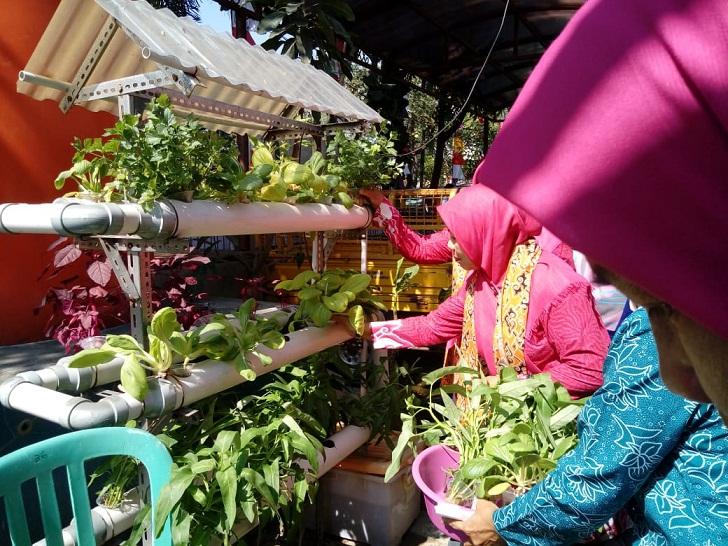 petik sayuran hidroponik hasil karya Pokja III TP PKK Kelurahan Kecapi